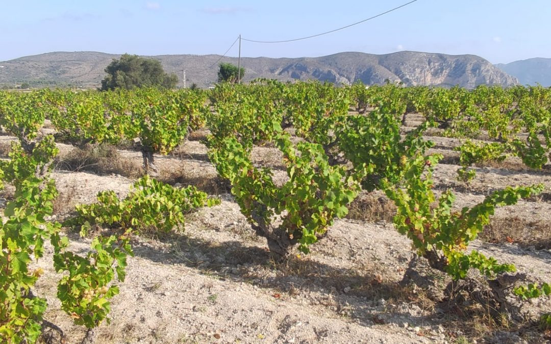 El Banco de Tierras de Teulada recupera 14 hectáreas de viña